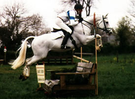 Trakehner-Stallion-Hansel
